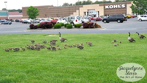 Geese in Parking Lot- Jacquelynne Steves