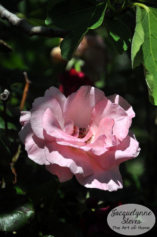 Rose Jacquelynne Steves