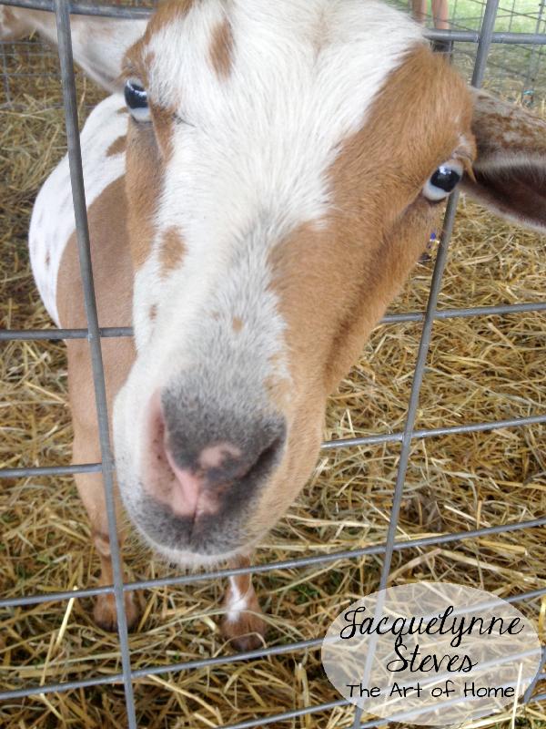 County Fair- goat 3-JSteves