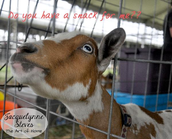 County Fair- goat- JSteves