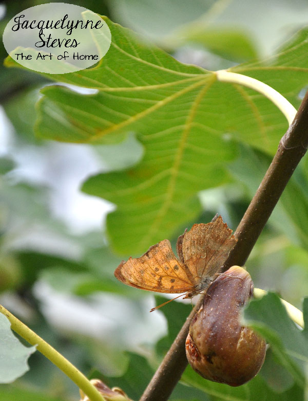 Butterfly on Fig Tree 2- Jacquelynne Steves