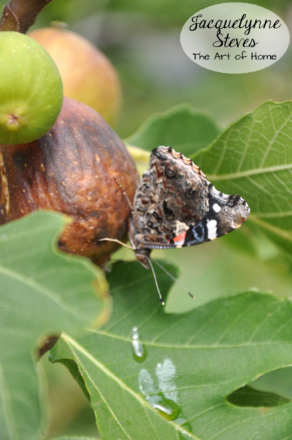 Butterfly on Fig Tree- Jacquelynne Steves