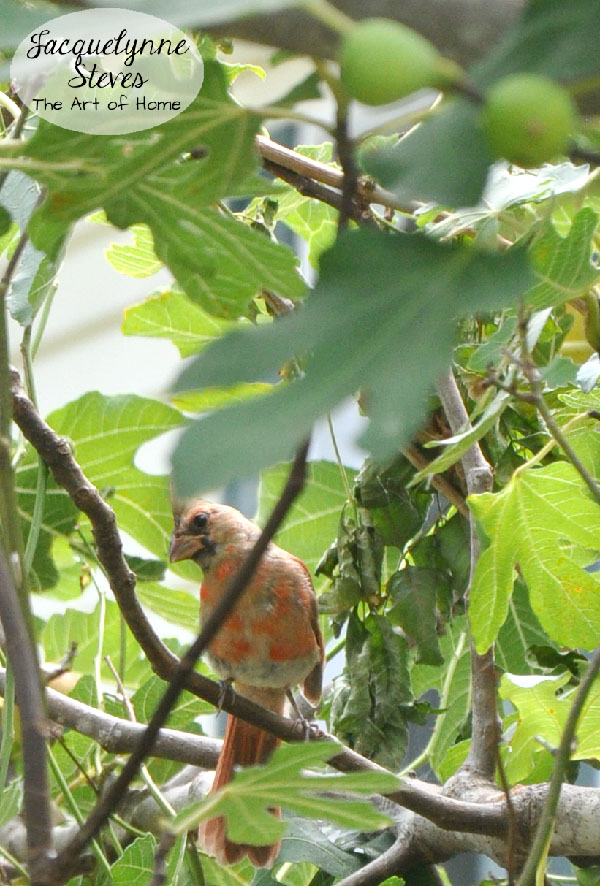 Female Cardinal in Fig Tree- Jacquelynne Steves